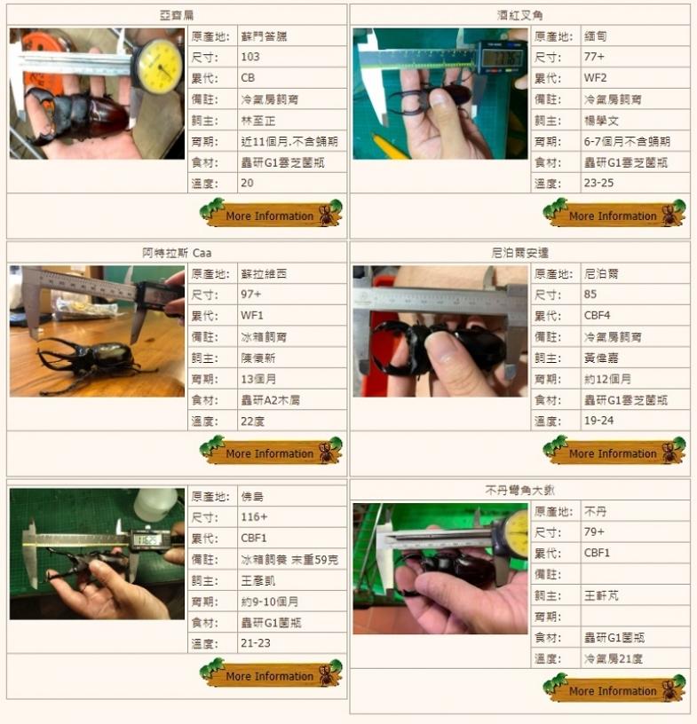 台北獨角仙鍬形蟲竹節蟲購買飼養 蟲磨坊