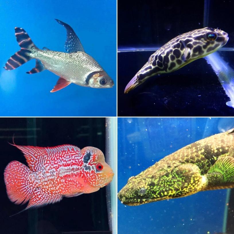 澄泓水族-高雄珍稀魚種、高雄特殊魚種
