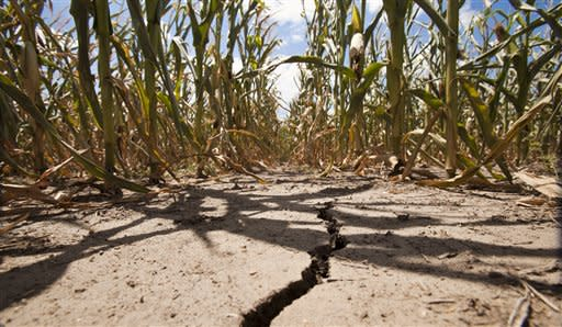 A field of corn withers under triple-degree heat north of Wichita, Kan., in Sedgwick County Monday, July 16, 2012. The drought gripping the United States is the widest since 1956, according to new data released Monday by the National Oceanic and Atmospheric Administration. Fifty-five percent of the continental U.S. was in a moderate to extreme drought by the end of June, NOAA's National Climatic Data Center in Asheville, N.C., said in its monthly State of the Climate drought report. That's the largest percentage since December 1956, when 58 percent of the country was covered by drought. (AP Photo/The Wichita Eagle, Mike Hutmacher)