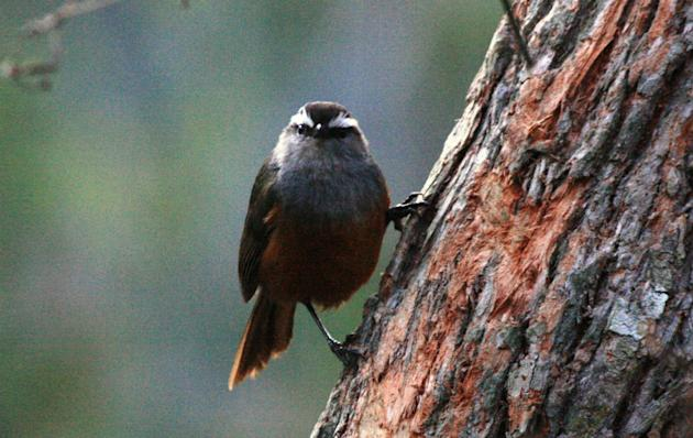 """Grey-breasted Laughingthrush: Birding jargon can be funny. Say, """"laughingthrushes"""" belong to the babbler family! This one is endemic to these hills. And the name """"laughingthrush"""" because the calls resemble human laughter."""
