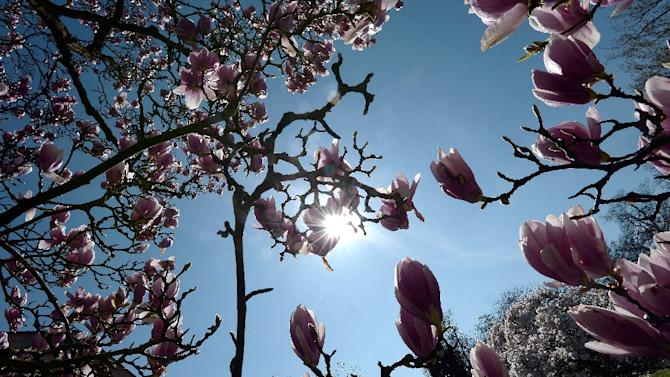 Flowers are seen on a blooming magnolia tree on April 7, 2015 in Strasbourg, eastern France