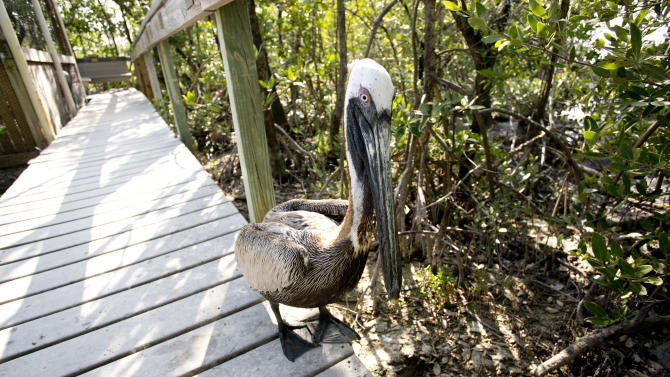 In this Feb. 12, 2013 photo, a pelican patrols the sidewalk at the Florida Keys Wild Bird Center in Key Largo, Fla. Head to the Florida Keys Wild Bird Center to see rescued and rehabilitated wild birds. The bird sanctuary accepts donations but has free admission.  (AP Photo/J Pat Carter)