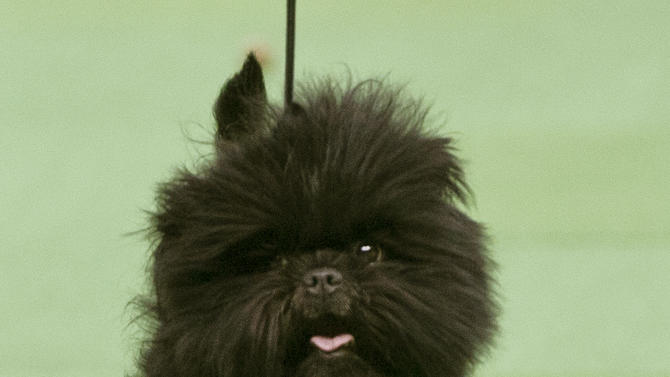 Banana Joe, an affenpinscher who won best in show during the 137th Westminster Kennel Club dog show, walks in the ring Tuesday, Feb. 12, 2013, at Madison Square Garden in New York. (AP Photo/Frank Franklin II)