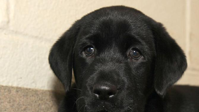 This undated photo provided by the Dallas Zoological Society shows a black Labrador retriever puppy named Amani. Zoo officials have given Amani to two male cheetah cubs, Winspear and Kamau, born July 8, 2013, that have joined the Dallas Zoo. Since Labs are easy-going in public settings and since the pup will grow with the cubs, zoo experts believe he'll provide a calming influence for the cats. (AP Photo/Dallas Zoological Society)