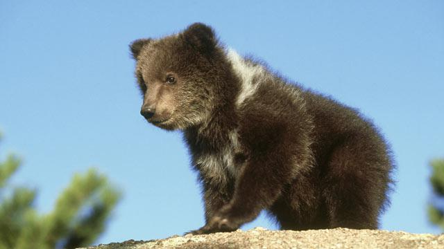 Grizzly Cub on the Loose
