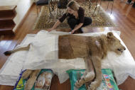 Veterinarian Livia Pereira cares for paralyzed lion Ariel in her home in Sao Paulo, Brazil, Wednesday July 13, 2011. An Internet and Facebook campaign has been launched in Brazil to obtain funds needed to treat the lion that has been paralyzed for the past year. The campaign was launched by Raquel Borges, the owner of Ariel, a three-year-old, 310 pound (140 kilogram) lion that has been unable to use his four legs due to a degenerative disease affecting his medulla. Borges runs a a shelter that cares for sick or abandoned animals. Borges and Pereira say that the money needed to pay for Ariel's treatment come from donations from people who belong to the Facebook page created for the lion. (AP Photo/Andre Penner)
