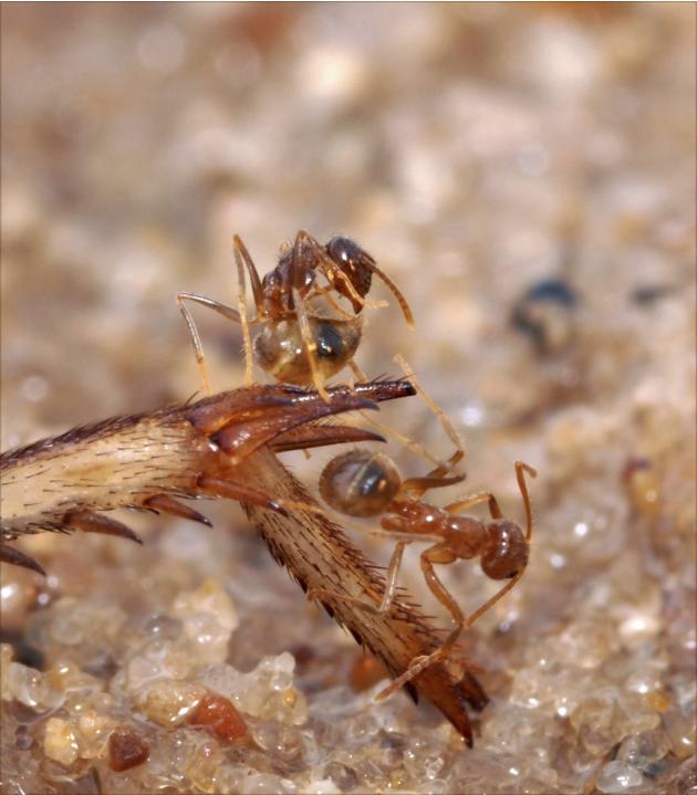 Handout photo shows Tawny crazy ants standing on a cricket leg, expressing detoxification behavior