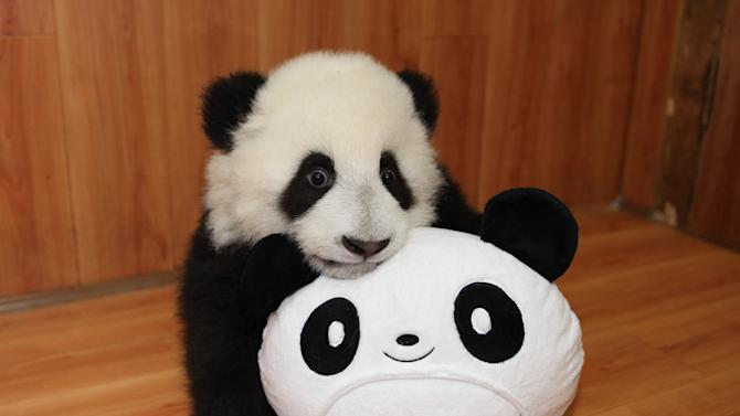 Baby Panda Plays With Toy