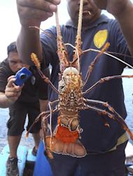 In this photo taken on Nov. 7, 2014 and released by the Government of the Republic of Palau, a Maritime Surveillance Agency official holds up a lobster found aboard a Vietnamese fishing ship caught fishing illegally in the waters of Palau, at the Marine Law Enforcement Division Port in Koror, Palau. The tiny Pacific nation of Palau, fighting a rising tide of illegal fishing in its waters, has set fire to four boats of Vietnamese caught poaching sea cucumbers and other marine life in its waters. Palau's president, Tommy Remengesau Jr., said the boats were burned Friday morning, June 12, 2015. He hopes to turn most of the island nation's territorial waters into a national marine sanctuary, banning commercial fishing and exports apart from limited areas to be used by domestic fishermen and tourists. (The Government of the Republic of Palau via AP)