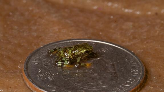 Itsy-Bitsy Endangered Frog Bred in Bid to Save Species