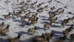Incredible footage captures elk herd galloping through Larimer County hills