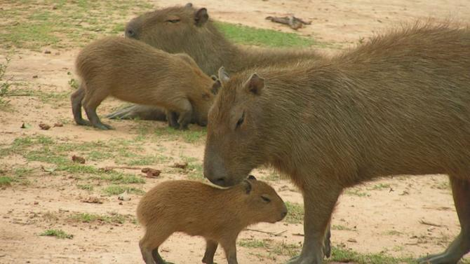 Capybaras, Giant Rodents Native to South America, Could Become Invasive Species in Florida