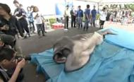 Japan: Video Shows Extremely Rare Megamouth Shark Caught Off Coast of Japan