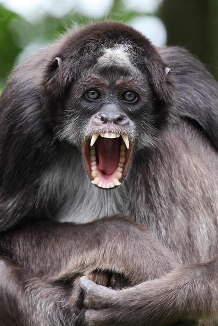 The Brown or Variegated Spider Monkey