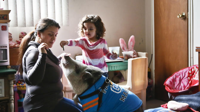 Danielle Forgione and her daughter, Olivia, 3, play with Petey, the family's pet pig, on Thursday, March 21, 2013, in the Queens borough of New York. Forgione is scrambling to sell her second-floor apartment after a neighbor complained about 1-year-old Petey the pig to the co-op board. In November and December she was issued city animal violations and in January was told by both the city and her management office that she needed to get rid of the pig. (AP Photo/Bebeto Matthews)