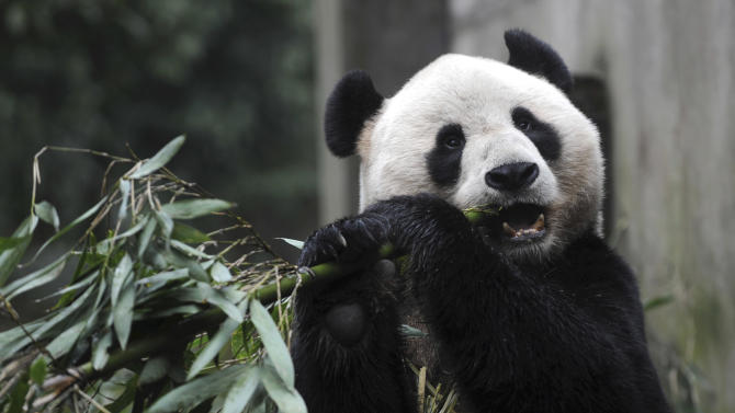 In this photo released by China's Xinhua News Agency, giant panda Yang Guang eats bamboo prior to a journey to Britain in Ya'an, southwest China's Sichuan Province, Saturday, Dec. 3, 2011. As part of a ten-year joint research program, Tian Tian and Yang Guang, the pair of giant pandas, were set off for the Edinburgh Zoo from the Giant Panda Conservation and Research Center in Sichuan here on Saturday, Xinhua said. (AP Photo/Xinhua, Li Qiaoqiao) NO SALES