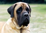 Photo by: Sally Anne Thompson, Animal PhotographyNo. 14: Mastiff   No. 61 in 2002, No. 35 in 2012   He's a classic gentle giant, but the imposing Mastiff can also have a stubborn streak, which can be troublesome with a dog his size. He's a lover, not a fighter, but he will step in to protect his family if needed. Learn More About the Mastiff