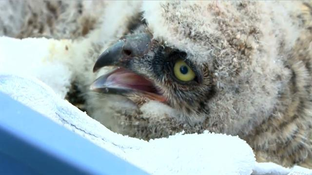 Owl chicks blown out of nest, rescued