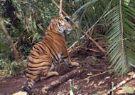 A trapped Sumatran tiger on Indonesia's Sumatra island, in a photo taken on January 9, 2012 and released by the Nature Conservation Agency in Bengkulu province