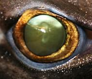 The eye of a velvet belly lantern shark