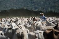 A cowboy drives cattle at a farm in Sao Felix do Xingu, Para state, northern Brazil, on August 8, 2013. With more than 200 million head of cattle, Brazil is the world's top beef exporter -- 20 percent of beef exports come from the Amazon region