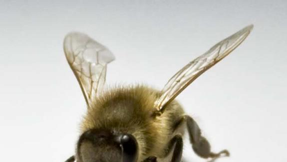Antenna Antics: Honeybees Are 'Righties'