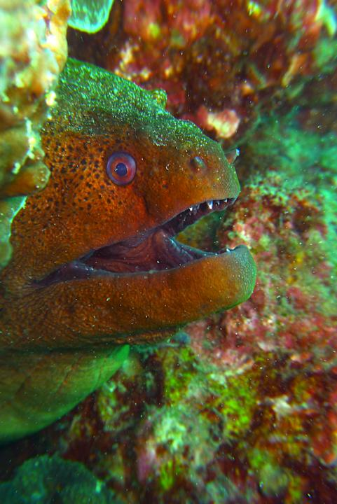 Not too far away from the white-eyed moray eel was the giant moray eel. They are known to be blind and prey on victims using their other senses.