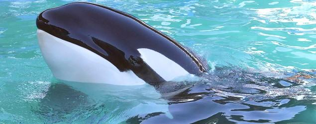 After 44 years in tank, Miami orca could be freed