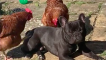 Sweet dog loves to get massaged by chickens