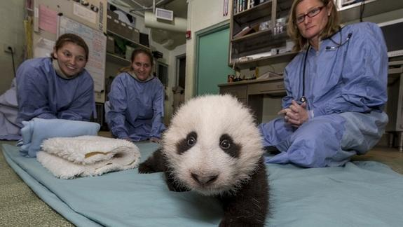 Panda Cub Steps into 'Awkward Toddler Stage'