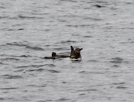 This photo released by Tokyo Sea Life Park on March 5, shows a penguin swimming in a river near the Tokyo aquarium. A penguin that has been on the run from a Tokyo aquarium is alive and well, a park official said Thursday, as it emerged the fugitive had given the slip to Japan's well-equipped coastguard