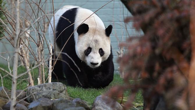 Two Giant Pandas Make Their First Appearance In Front Of The Media Since Arriving From China