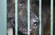 This file photo shows a pitbull dog, locked up in a cage in Manila, in 2007. An animal rights group in the Philippines said it helped police bust a South Korean syndicate operating a massive dog fighting ring and rescue 300 pitbulls