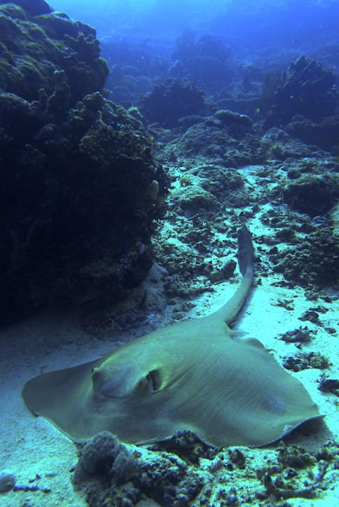 A sting ray resting on the sea bed at Maratua, Indonesia. This fine specimen was roughly 3m long from head to tail.