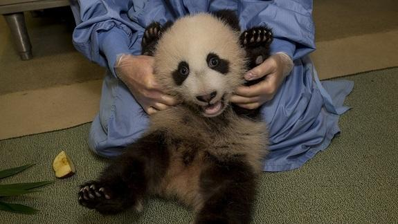 Fidgety Panda Cub Shows Off Belly