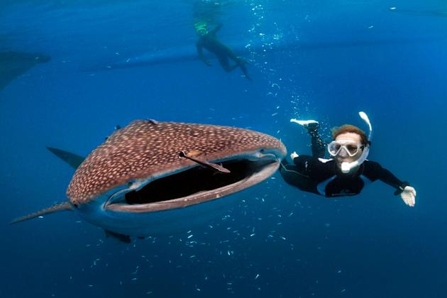 Photographer Reinhard Dirscherl took this extraordinary snap of whale shark, which looks like its about to eat a diver (Caters)