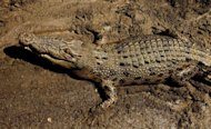 An estuarine crocodile better known as the saltwater or saltie, lies in the sun on the banks of the Adelaide river near Darwin in Australia's Northern Territory. Australia is mulling a plan to allow the trophy hunting of saltwater crocodiles, officials said Thursday, with the controversial idea being thrown open for public comment