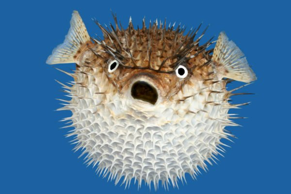 Banned foods dualwarez for Giant puffer fish