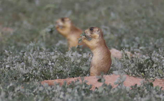 This Aug. 6, 2015, photo, shows prairie dogs, in southern Utah. Utah health officials said Thursday, Aug. 27, 2015, that a resident who died from the plague in August mostly likely contracted it from