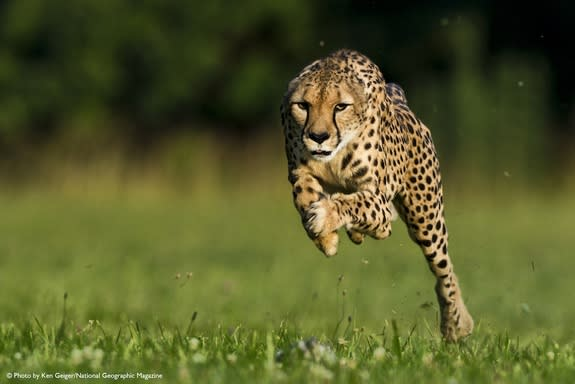 An 11-year-old cheetah named Sarah broke a world record by running 100 meters in 5.95 seconds on June 20, 2012. [See more photos of cheetahs]