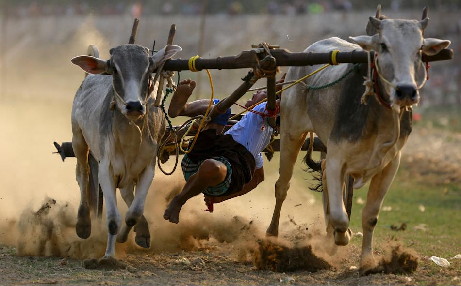 A man falls from ox cart as he competes during ox cart competition near U Bein bridge, in Mandalay