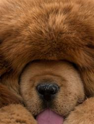A Tibetan mastiff dog is displayed at a show in Baoding, Hebei province on March 9, 2013. Tibetan Mastiffs have become a prized status-symbol among China's wealthy, with rich buyers across the country sending prices skyrocketing