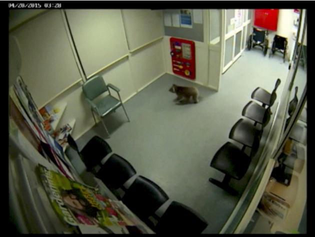 In this April 20, 2015 image made from a security video released by the Western District Health Service on Tuesday, May 5, 2015, a koala wanders around the emergency department's waiting room afte