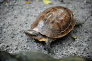 File photo shows a Philippine pond turtle at the Manila Zoo. Thirty-six turtles seized from smugglers, including 20 of one of the world's rarest species, are to be returned from Hong Kong to the Philippines, an official said Wednesday