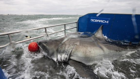 Great White Shark 'Lydia' Veers Away from UK