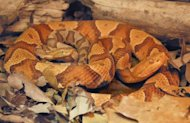 A female copperhead snake (Agkistrodon contortrix) and her offspring born via parthenogenesis, also called virgin birth, described in a study reported Sept. 12, 2012 in the journal Biology Letters.