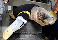 Yu, an approximately 25-year-old female loggerhead turtle, receives her 27th pair of artificial front legs at the Suma Aqualife Park in Kobe on February 12, 2013. Yu lost her front legs during a shark attack