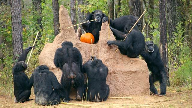 Agency Pushes to Retire Chimps From Research Projects