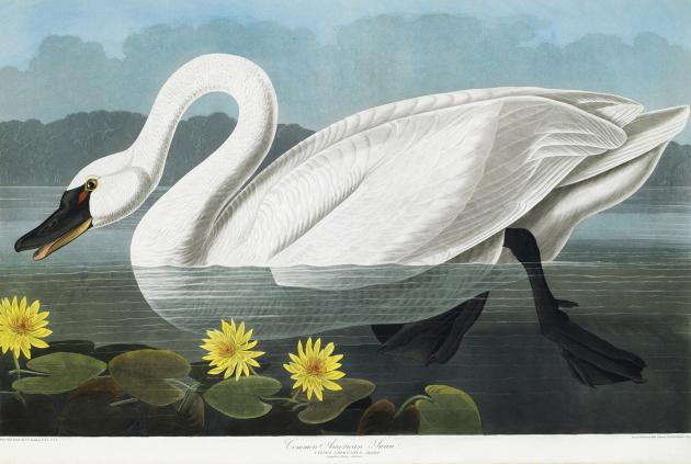 "This picture provided by Christie's showing a Common American Swan is from a rare first edition set of John James Audubon's ""The Birds of America."" Considered a masterpiece of ornithology art, the fou"