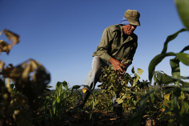 Farmer Diogenes Cheveco, 73, picks beans on unused government land that farmers are allowed to use to grow food and raise livestock, on the outskirts of Havana, Cuba, Tuesday, March 3, 2015. After Pre
